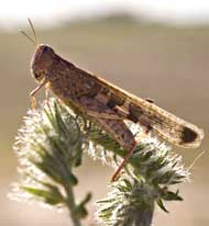 Photo of a plague locust