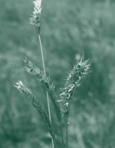 Barley Mitchell grass