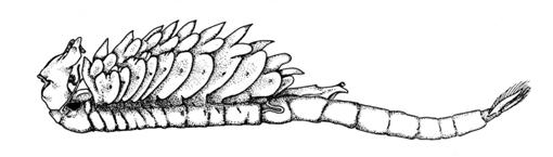 Buchanans Fairy Shrimp. Illustration: Christopher Rogers