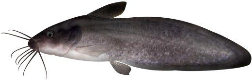 Eel Tailed Catfish