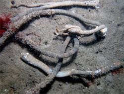European fan worm