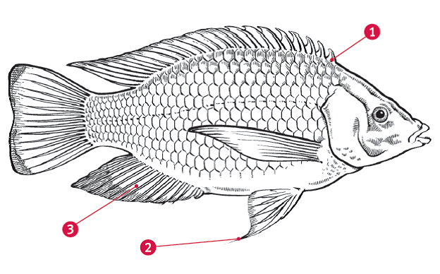 Diagram of tilapia