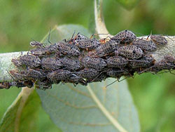 Close up of cluster of about 20 giant willow aphids feeding in a close group on a twig