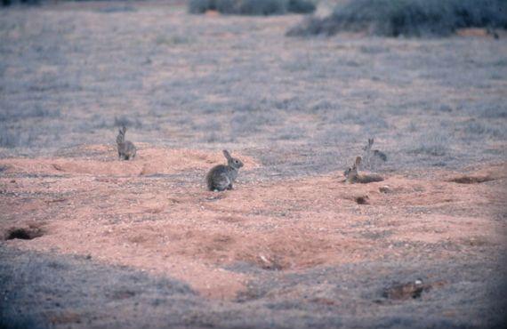rabbits on a warren