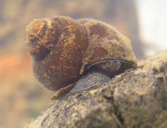 A Notopala snail sitting on a rock with a brown and golden turban shaped shell