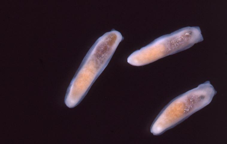 X-ray image of three marine slugs