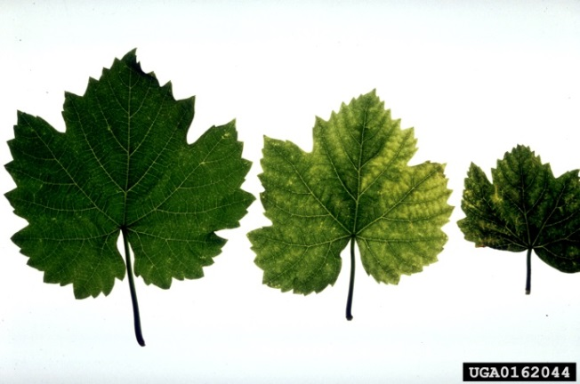 Three grape leaves, left is healthy, middle is yellowed, right is stunted