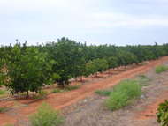 An orchard showing signs of stunting