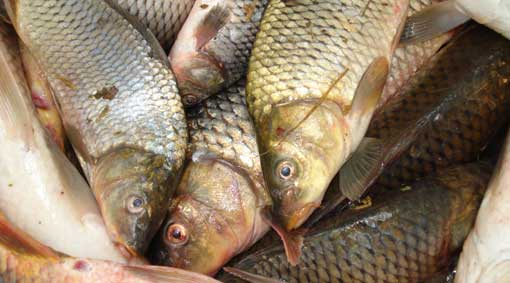 Carp collected during community carp muster must be disposed of humanely