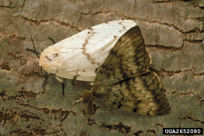 Male and female Asian gypsy moths shown in same picture. The female is primarly white with a longer, narrower body shape than the male. The male is primarily brown. Both have brown wavy patterning on the wings.