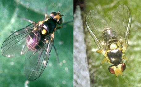 Composite image showing at right black fly with yellow spot on back, yellow marking on head, and long translucent wings with black veins. At left black fly with larger yellow spot on back and brighter yellow marking on head.