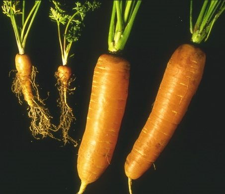 "Two small, unmarketable carrot cyst nematode infested carrot roots with an ""bearded look"" due to the abnormal profusion of rootlets, located on the left hand side of the image. Two healthy carrot tap roots without the abnormal profusion of rootlets are located on the right hand side of the image."
