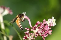 A giant honey bee collecting pollen from a small pink flower