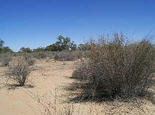 Mercoola Creek lignum