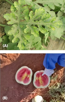 Combination image. Upper: green leaves of a watermelon plant that have lighter green mottling on the margins. Lower: A watermelon cut in half revealing mostly pink flesh but with some light yellow/white areas and fruit is distorted in shape
