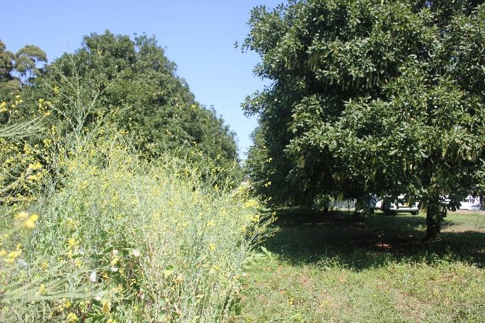 Mustard plants