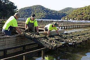 Oyster farming