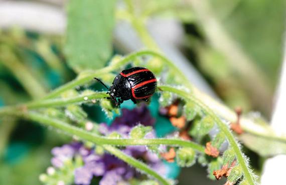 Blue heliotrope beetle