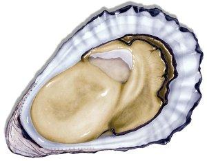 Sydney rock oyster