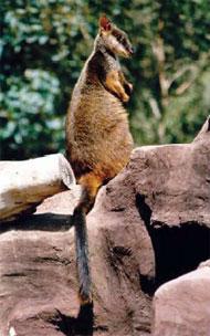 Australian mammal