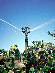Irrigated grapes