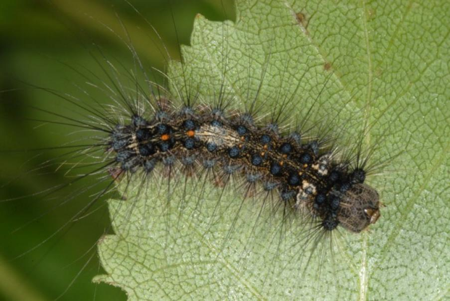 Mature nun moth larva on a leaf. Larva has long hairs protruding all over the body. Top of larva shows a double row of blue dots running the length of the body and two central orange dots at the tail end.