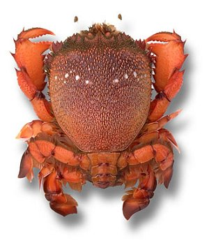Spanner crab