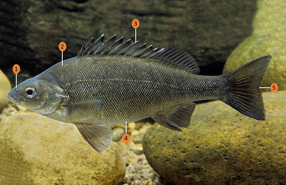 How to identify a Silver Perch