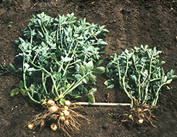 Two uprooted potato plant placed side by side for comparison. PCN infested plant on right is stunted with smaller tubers and less extensive root system in comparison to healthy plant on left.