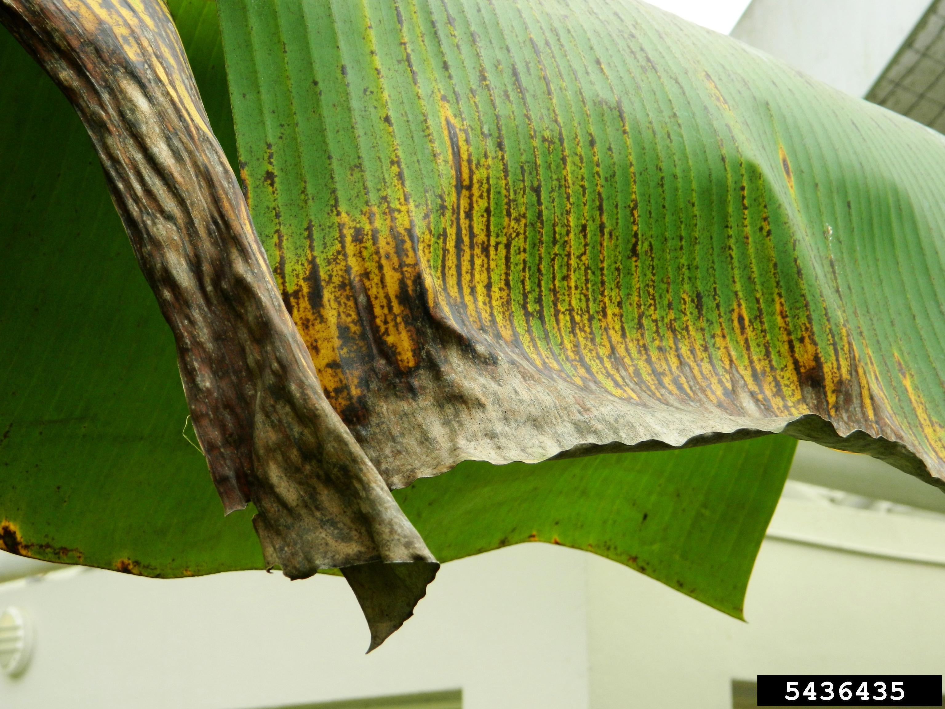 Banana leaf with black and yellow streaks along leaf veins progressing to a blackened area at the leaf margin