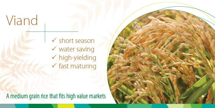 Viand - short season, water saving, high-yielding, fast maturing medium grain rice that fits high value markets