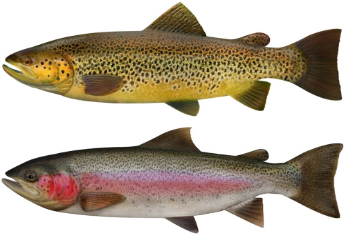 Brown trout have a almost golden colour with brown spots while the rainbow trout has a pink flush along it's side.