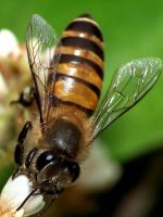 Asian honey bee gathering pollen from small flower