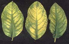 Manganese toxicity leaves
