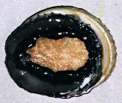 Diseased abalone displaying AVG symptoms