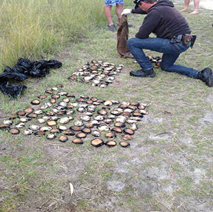 Counting illegally caught abalone from South Coast NSW