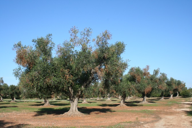 A row of olive trees in an orchard showing scattered browning throughout the otherwise green canopy