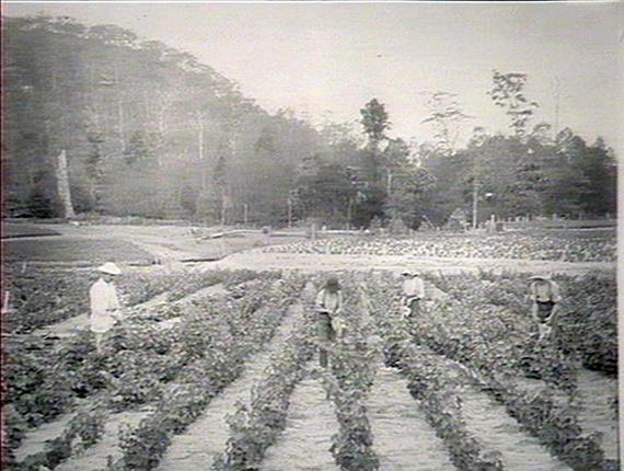 The Narara Viticulture Nursery, 1914