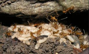 Yellow crazy ants