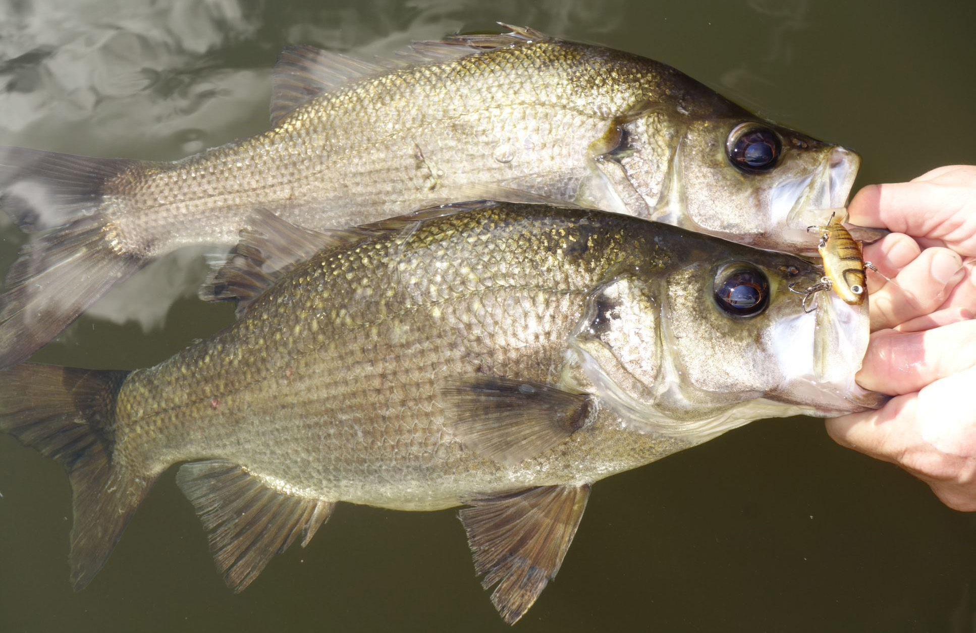 two Estuary perch caught and held by person's hands