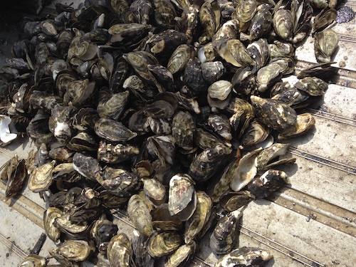 Mass mortality in cultivated Pacific Oysters