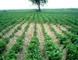 A potato crop with a definitive patch of stunted plants surrounded by the healthy crop