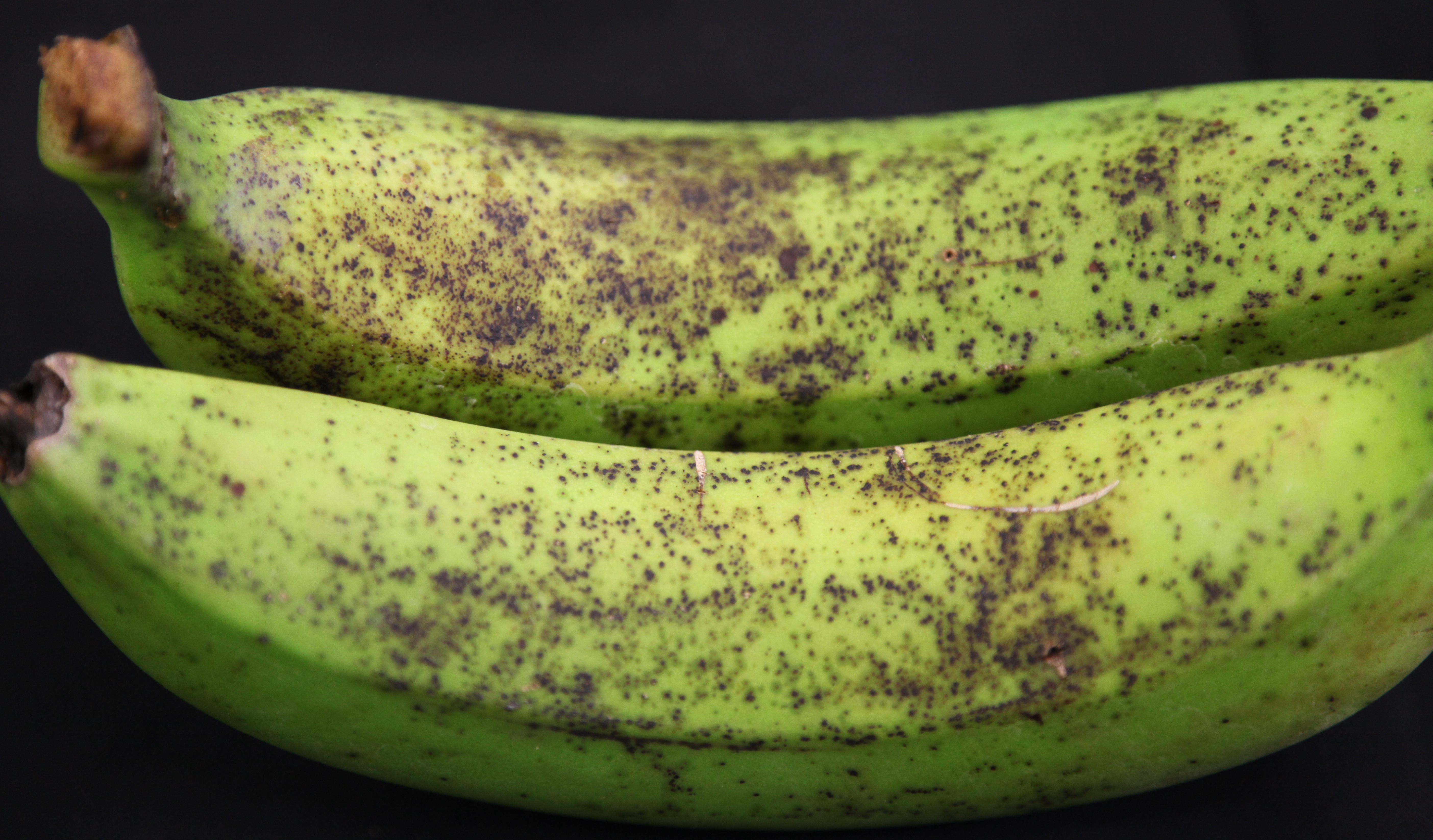 Two unripe bananas with brown fungal spots all over