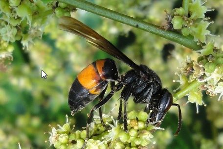 Lesser banded hornet on a flower spike, this is the southeast Asia geographic form which is entirely black and has an orange abdominal band