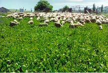 Sheep grazing Puna chicory at Adelong