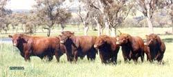 Shorthorn bulls