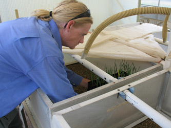Technical Assistant, Tom Thompson, placing seedlings into misting chambers used for creating ideal conditions for infection by Septoria tritici bloth in to glasshouses at Wagga Wagga.