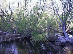Waterway choked by willows