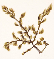 Nereia lophocladia