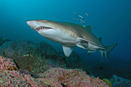 Grey nurse shark photographed at Fish Rock, South West Rocks